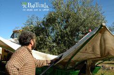 Baeturia Harvest