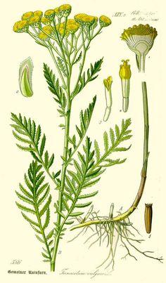 Creative Flora, Fauna, Illustration, Tanacetum, and Vulgare image ideas & inspiration on Designspiration