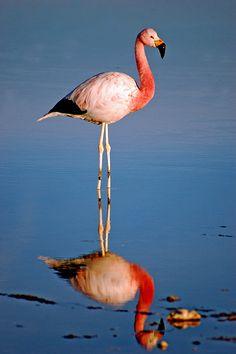 Chilean flamingo, Atacama salar, North of Chile. Nature Animals, Animals And Pets, Amphibians, Mammals, Juan Fernandez, Torres Del Paine National Park, Bird Watching, Beautiful Birds, Animal Photography