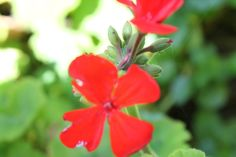 Una de las tareas del 'turismo rural' es el mantenimientos de flores y jardines.  Os regalamos algunas de nuestros alojamientos LUNACANDELEDA  www.lunacandeleda.com