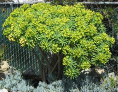 "2011 garden addition, Euphorbia lambii ""Tree Euphorbia"""
