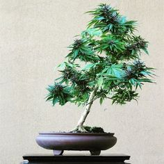 Ganjuana — cosmicgreen:   image sourced from canna_daily...