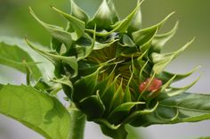 Sunflower about to bloom #sunflower #CKFinePhoto