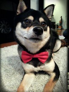 Bandit showing off his new red bow tie. Red Bow Tie, Shiba Inu, Doggies, Animals, Pet Dogs, Little Puppies, Animales, Animaux, Animal