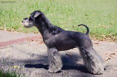 Modified cut on schnauzer Schnauzer Grooming, Dog Grooming, Creative Grooming, Dog Haircuts, Miniature Schnauzer, Maltese, Asian, Grooms, Pets