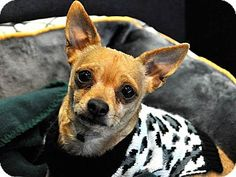 Long Beach, CA - Chihuahua Mix. Meet Pudge, a dog for adoption. http://www.adoptapet.com/pet/14794374-long-beach-california-chihuahua-mix