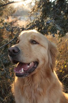 Beautiful, happy Golden in the forest