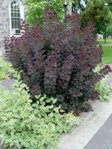 Common name: Purple smoketree 'Royal Purple' * What it is: A small tree or large shrub with rich, deep-burgundy, oval leaves and airy, pinkish flower clusters in summer that look like puffs of pink smoke. Leaves turn scarlet in fall.
