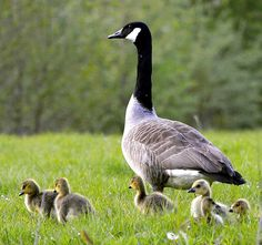 Canada Geese Nesting Habits....do you want them around your yard?  http://abirdsdelight.com/canada-goose-nesting-habits  #canadageese #birding #abirdsdelight