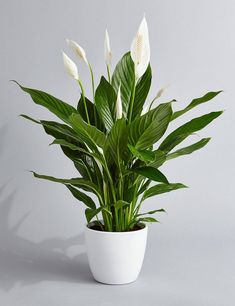 Peace Lily Air Purifying Plant - Easy Care Houseplant, Housewarming, Birthday Present, Gift for Her, - Jardinería en macetas - Plants Water Plants, Cool Plants, Live Plants, Green Plants, Potted Plants, Peace Lily Plant, Peace Lily Indoor, Peace Lily Care, Buy Plants Online