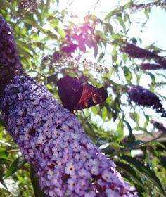 Peacock butterfly on buddleja