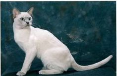 tonkinese - Google Search