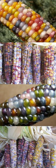 Glass gem Corn, so pretty.would LOVE to find this seed. Fruit And Veg, Fruits And Vegetables, Glass Gem Corn, Popcorn Seeds, Rare Flowers, Exotic Fruit, Vegetable Garden, Gardening Tips, Flora
