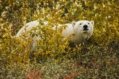 Polar autumn Photo by Andre Erlich — Polar bears are usually associated with ice and snow...but how different they look in the autumn colors! On the coast of Hudson Bay, while waiting for the bay to freeze over, those polar bears stay in perfect shape feeding on the pastures of wild berries.