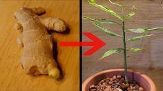 Mit diesem Trick ziehen Sie aus einem Stück Ingwer Ihre eigene Ingwerpflanze…