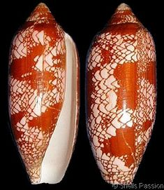 Darioconus auratinus    Motta, A.J. da, 1982		 Shell size 55 - 120 mm	 C & W Pacific