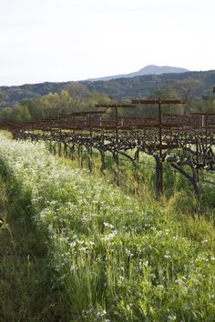 Cover Crops in the Quivira Vineyards.  #green, #sustainable, #eco, #ecofriendly, #natural, #wine, #vineyard