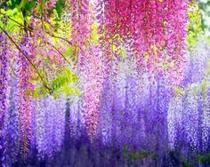 beautiful pink and purple wisteria...<3<3