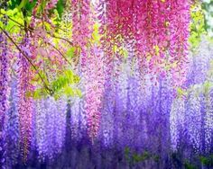 beautiful pink and purple wisteria...this will be the center piece to my backyard in the future.