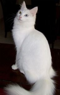Click to learn about the history, personality, common traits and health issues for the Turkish Angora cat. (Photo courtesy of TICA)