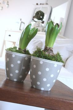 forced bulbs in grey dot pots