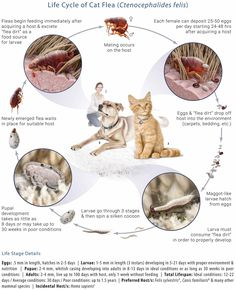 Life Cycle of a Cat Flea. Fleas begin feeding immediately after acquiring a host and excrete flea dirt as a food source for larvae. Mating occurs on t Kill Fleas On Dogs, Cat Fleas, Flea Medicine For Dogs, Cycle Pictures, Black Side Bag, Cat Safe Plants, Tidy Cats, Veterinary Services, Flea Treatment