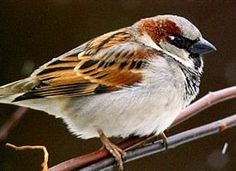 House Sparrow (Learn how to identify House Sparrow, its life history, cool facts, sounds and calls, and watch videos. You can find House Sparrows most places where there are houses (or other buildings), and few places where there aren't.)
