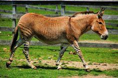 Zedonk - offspring of a Zebra and a Donkey