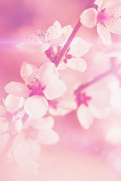 Pink flowers wallpapers pinterest flower wallpaper and flowers spring flower pink cherry blossom flare nature iphone 4s wallpaper mightylinksfo