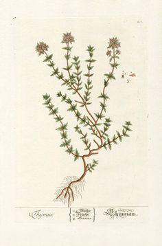 Elizabeth Blackwell Herbarium Prints 1757  Thyme