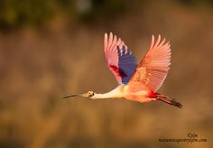 This was taken as the sun was beginning to go down and there was a golden light that was spreading all around us.  It almost appeared that the light had focused just on this beautiful Roseate Spoonbill as it was returning to roost for the night.  Everything is magical at this time of day and one can not help but feel speechless at the beauty that was everywhere.   Wishing you all a wonderful, safe and blessed weekend !!!!!