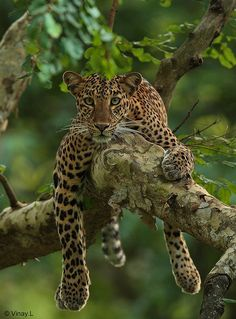 Leopards are very much at home in the trees. **Leopard (by Vinay Lakshman) Nature Animals, Animals And Pets, Cute Animals, Jaguar, Beautiful Cats, Animals Beautiful, Big Cats, Cute Cats, Wild Animals Photography