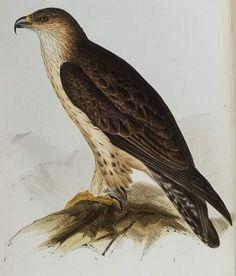 Aquila fasciata - águila perdicera