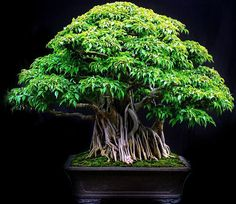 Bonsai species Ficus benjamina