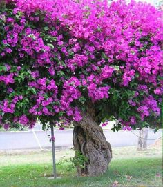 The mere mention of 'bougainvillea' can send many gardeners into an immediate state of panic. how to grow bougainvillea. This is amazing! Trees And Shrubs, Flowering Trees, Trees To Plant, Beautiful Gardens, Beautiful Flowers, Simply Beautiful, Ideas Para El Patio Frontal, Front Yard Design, Garden Trees