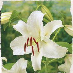 Fragrant Casa Blanca ,Lilium Oriental Hybrid (L3086). Elegant and classy. #dejager #bulbs #lilies #lily #flowers #flower