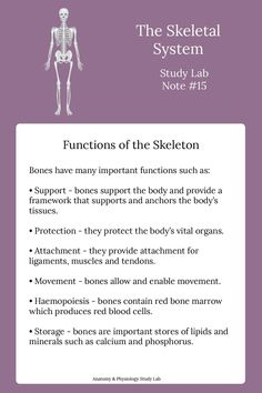 The human skeleton has many very important functions such as support, protection, attachment, movement, haemopoiesis and storage. Basic Anatomy And Physiology, Human Skeleton Anatomy, Radiology Student, Human Body Facts, Human Body Organs, Nursing School Notes, Medical Laboratory Science, Medical Anatomy, School Study Tips