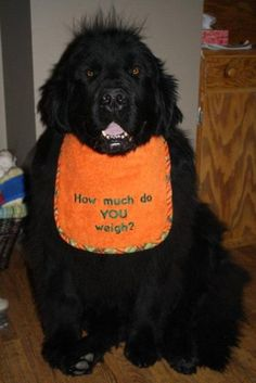 """How much do YOU weigh? Love Love Love this bib!!!! also wish I had a dime for everyone who ask us that or """"How big is your house?"""""""