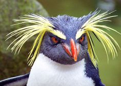 Rockhopper penguin ~ 28 Cute and Beautiful Photographs of Penguins Animals And Pets, Baby Animals, Funny Animals, Cute Animals, Pretty Birds, Beautiful Birds, Animals Beautiful, Macaroni Penguin, Rockhopper Penguin