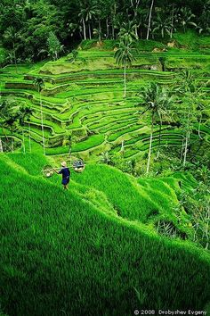 Ahh, I miss this way to much! Please take me back Rice terrace, near Ubud, Bali, Indonesia Ubud, Oh The Places You'll Go, Places To Travel, Places To Visit, Wonderful Places, Beautiful Places, Magic Places, Bali Lombok, Bali Travel