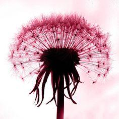 Kết quả hình ảnh cho hoa bồ công anh màu đỏ