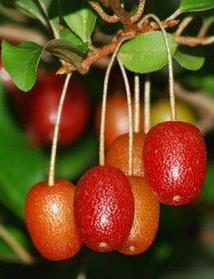 Goumi is a fruit well known in Asia and gaining popularity in the U.S.   http://www.waldeneffect.org/20111008goumi.jpg   Common Name: Go...