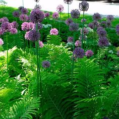 Allium giganteum (Ornamental onion) mixed with ferns here - Fine Gardening Plant Guide Ferns Garden, Shade Garden, Beautiful Gardens, Beautiful Flowers, Plant Guide, Fine Gardening, Woodland Garden, Plantar, Plantation