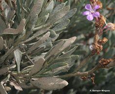 Limoniastrum monopetalum   Paraje Natural Punta Entinas, Almeria, Andalucía,