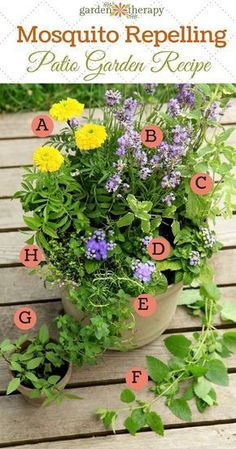 Mosquito Repelling Container Garden Recipe - This recipe was created for a location that gets at least 6-8 hours of sun a day. The plants will grow big and wild in the container, they will flower at different times, and have many different textures of fol
