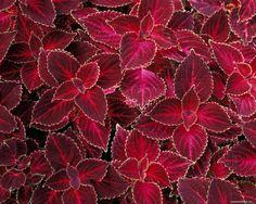berry color coleus