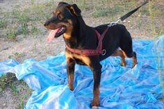 MILDRED, un anno, simil rottweiler comprata e poi buttata via... - http://hormiga.it/mildred-un-anno-simil-rottweiler-comprata-e-poi-buttata-via/ Adoption, Adozioni Cani, Adozioni urgentissime, Bellissimi Black Dog, Canili Gattili Rifugi
