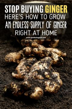 Gardens Discover Stop Buying Ginger. Heres How to Grow an Endless Supply of Ginger Right at Home Growing Ginger, Growing Herbs, Growing Microgreens, Regrow Vegetables, Growing Vegetables, Veggies, Gardening For Beginners, Gardening Tips, Home Vegetable Garden
