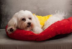 Top Ten 'Small Breed' Dogs Save to mypetMD [Back 4 panels] [Forward 4 panels] Image: Kevin Poh / via All Small Dog Breeds, Small Dogs, I Love Dogs, Cute Dogs, Maltese Dogs, Cute Friends, Dog Houses, Four Legged, Dog Days