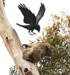 Коала и ворона. Crow attacking a coala bear at the zoo